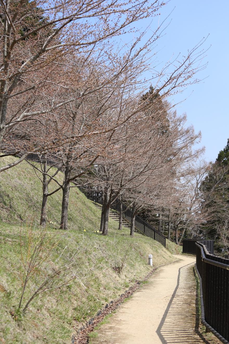 新倉山浅間公園桜の遊歩道