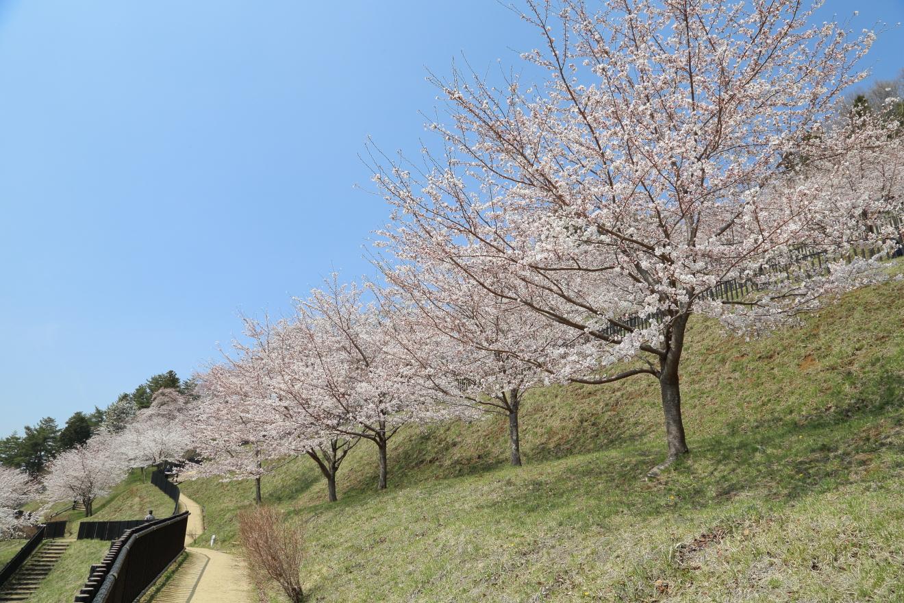 新倉山浅間公園遊歩道の桜