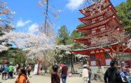 忠霊塔の満開になった桜