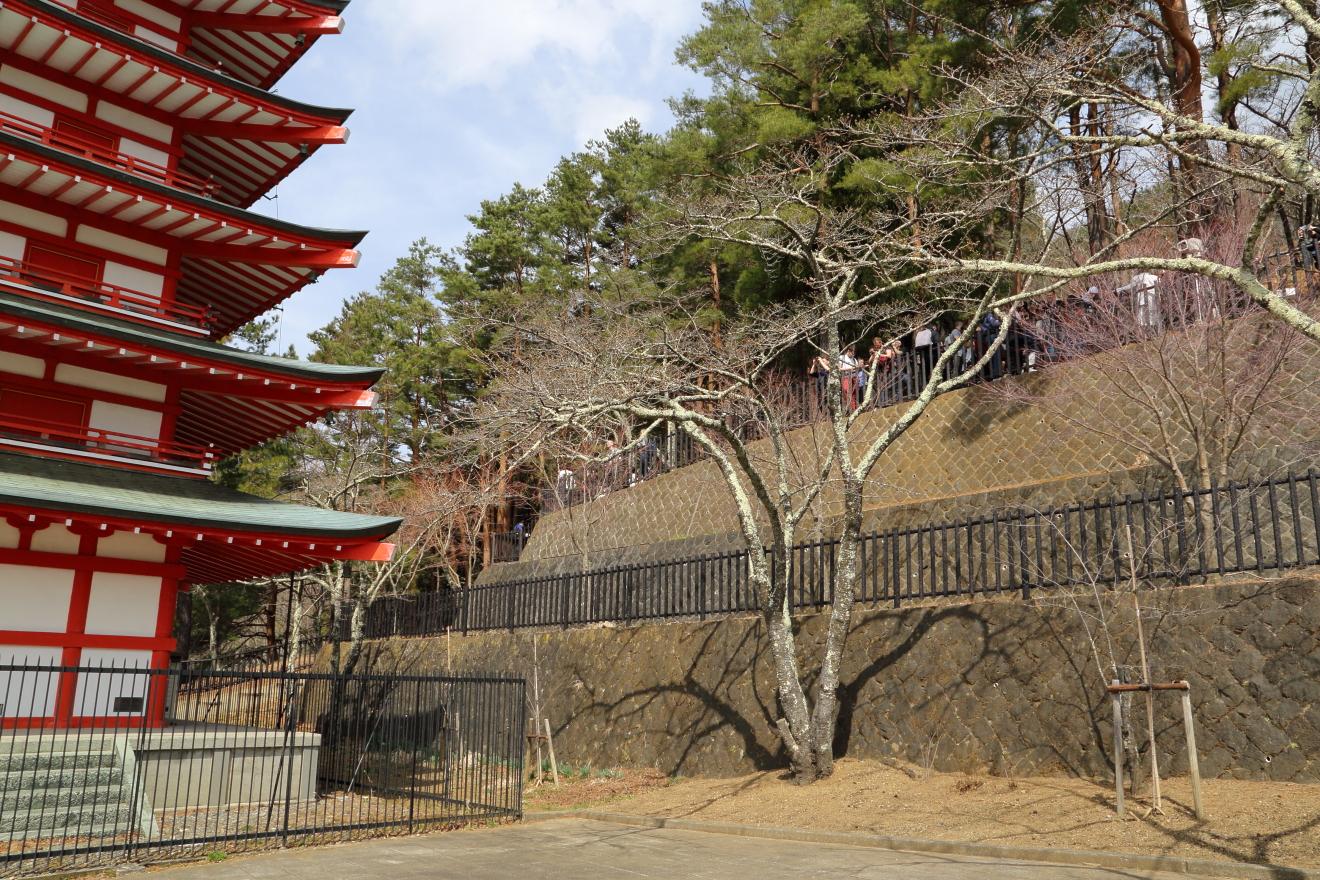 忠霊塔周辺の桜の状況