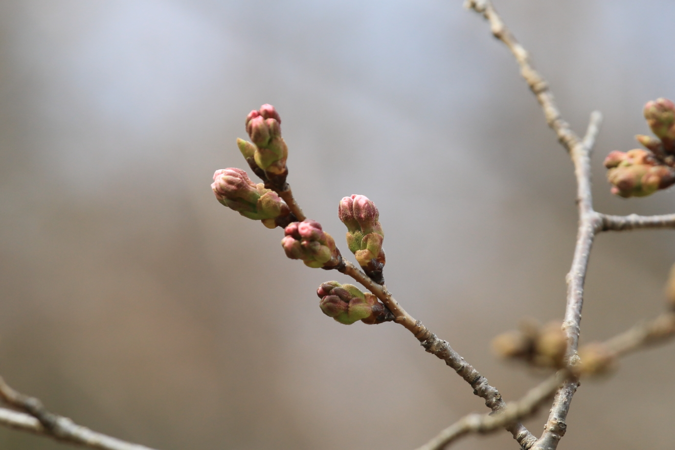忠霊塔桜のつぼみ