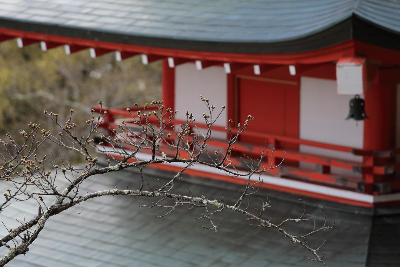 忠霊塔の桜の開花状況