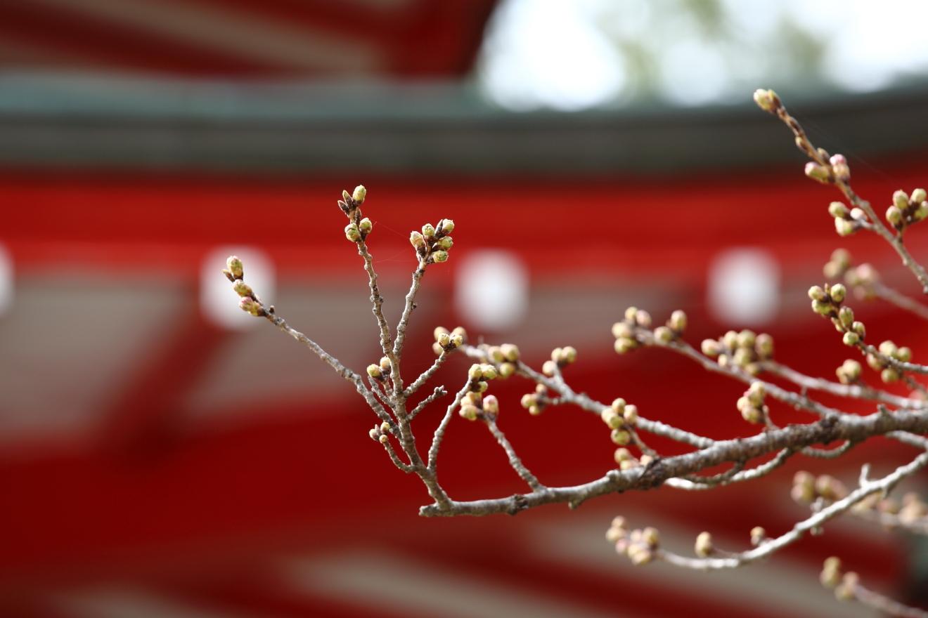 忠霊塔周囲の桜のつぼみ