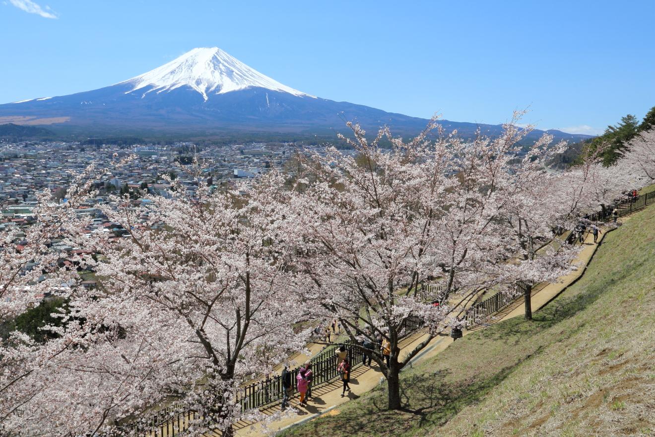 新倉山浅間公園内の桜の様子
