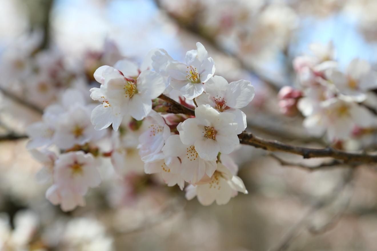 桜の開花は8分咲き