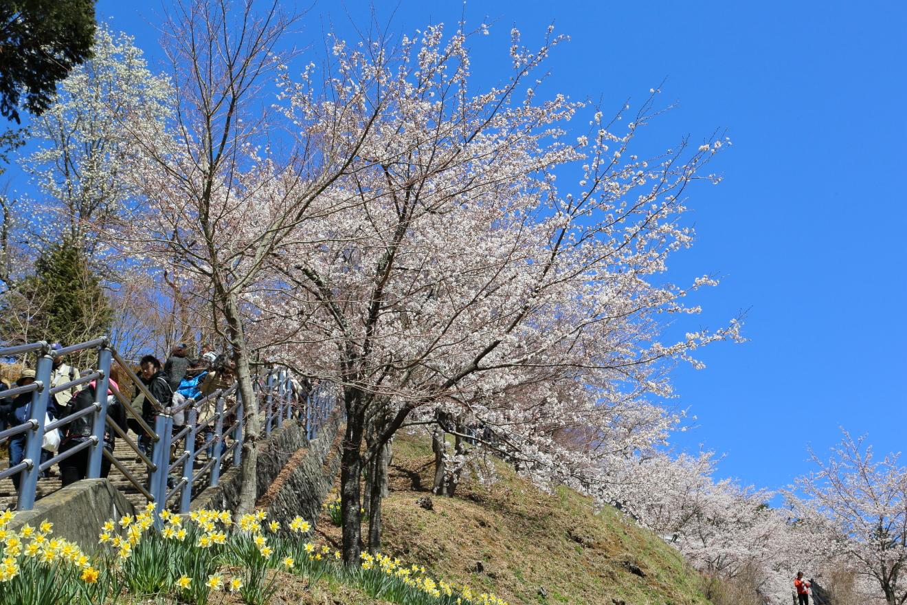 咲くや姫階段と桜