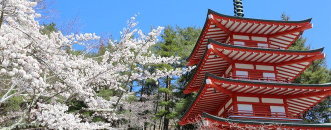 満開になった忠霊塔の桜