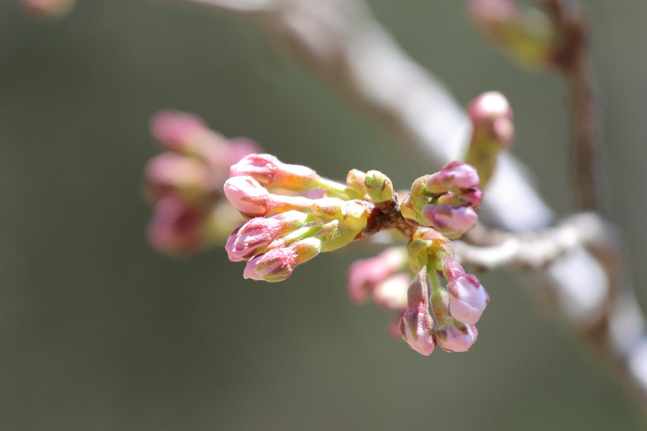 忠霊塔の桜