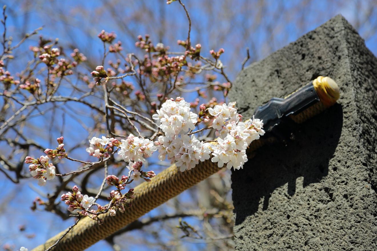 開花した新倉富士浅間神社参道の桜