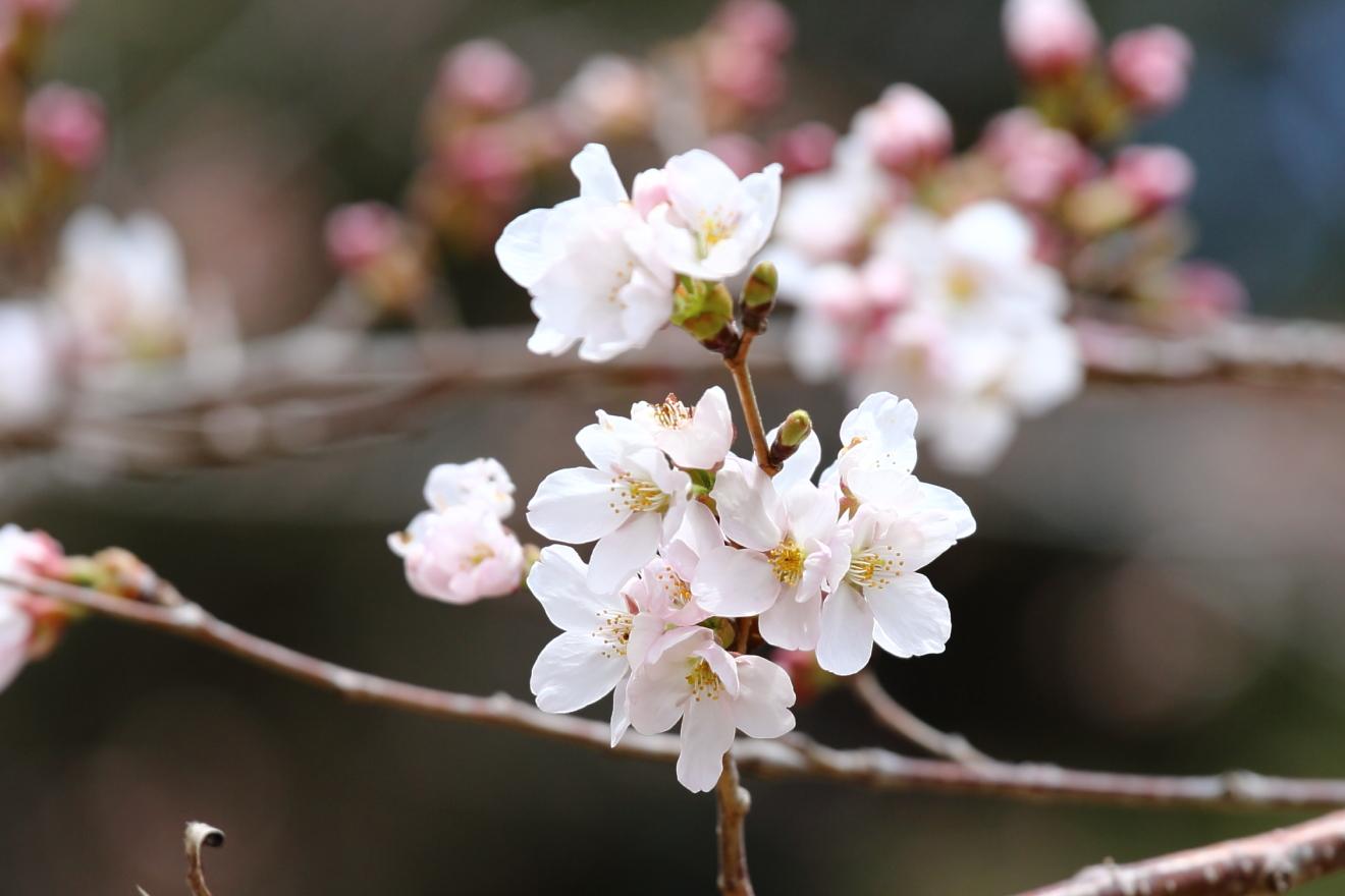 開花した忠霊塔の桜