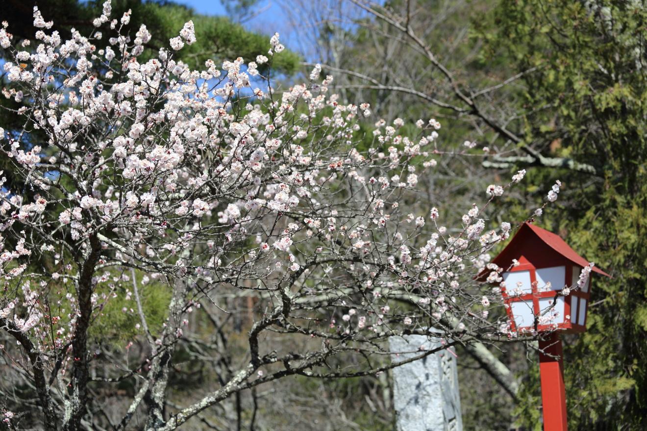 忠霊塔脇の梅の木