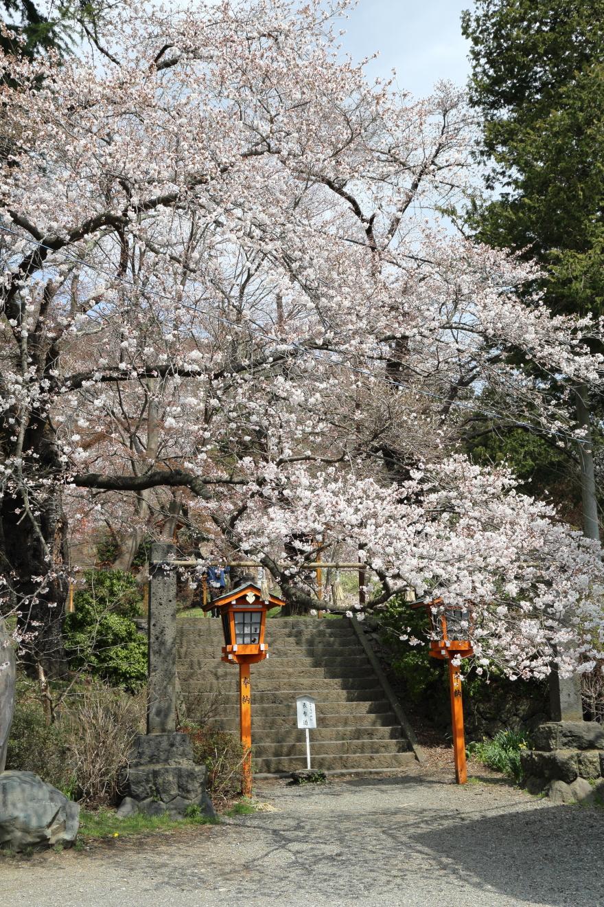 新倉富士浅間神社参道の桜