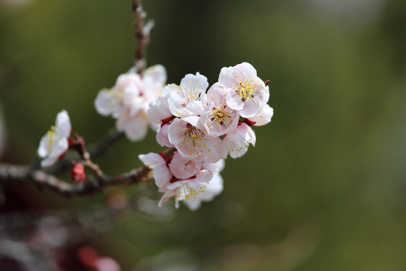 忠霊塔の早咲きの桜