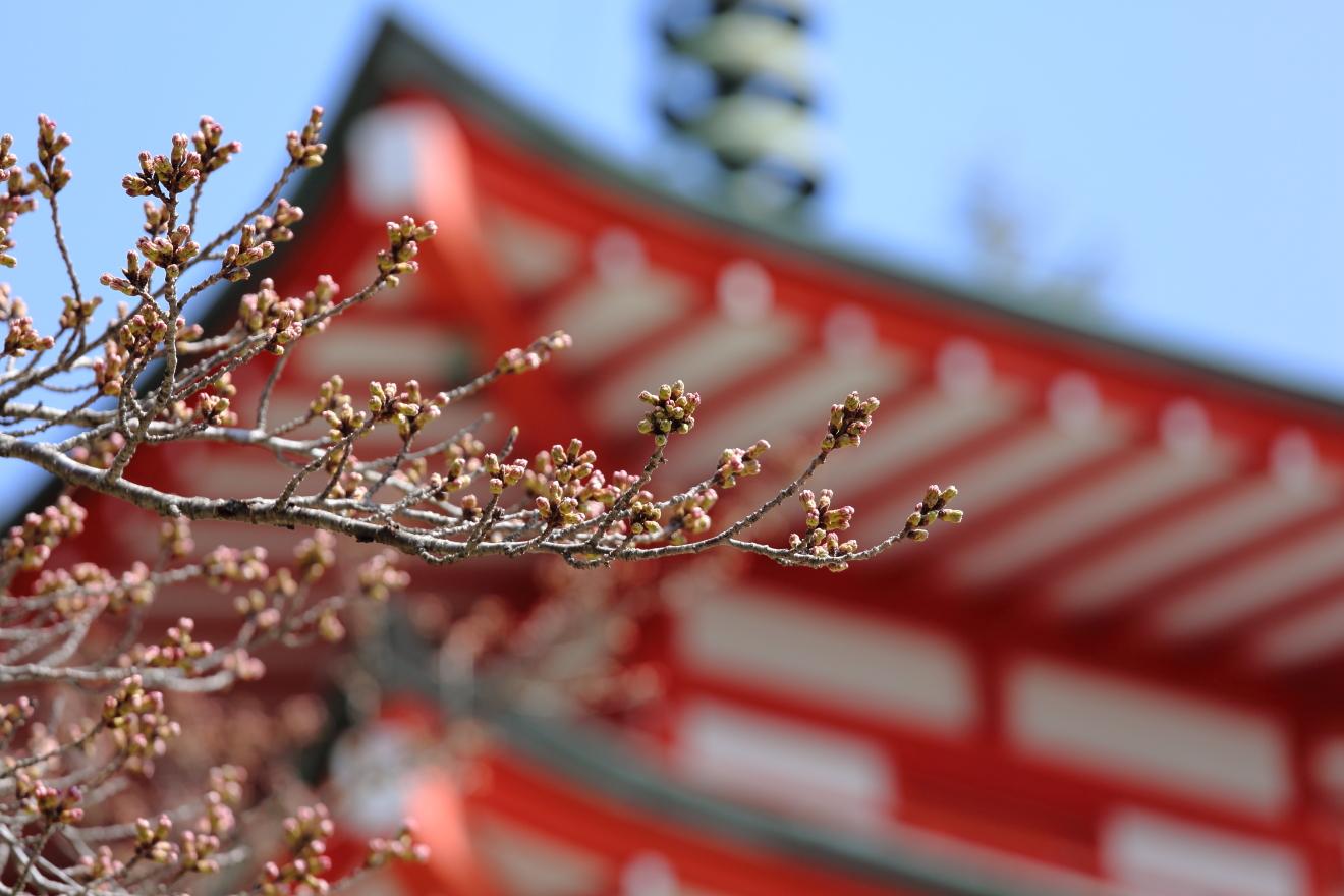新倉山浅間公園の桜の様子