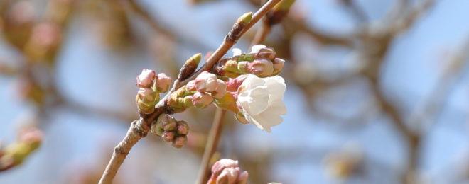 3月30日忠霊塔桜の開花状況