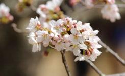 2018年4月2日忠霊塔の桜