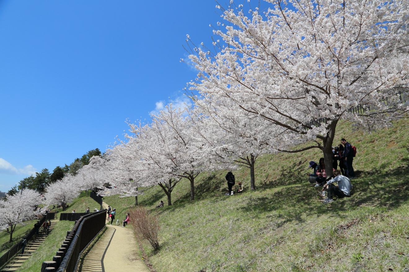 桜が咲く新倉山浅間公園散策路