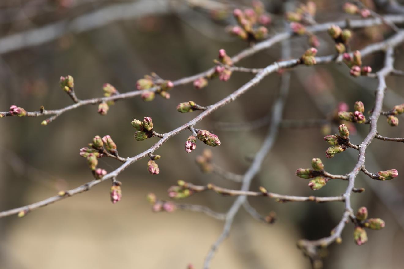 咲くや姫階段の桜