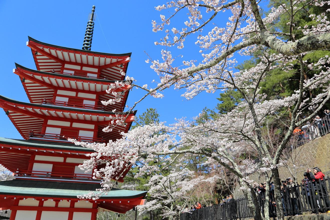 満開になった新倉山浅間公園忠霊塔の桜