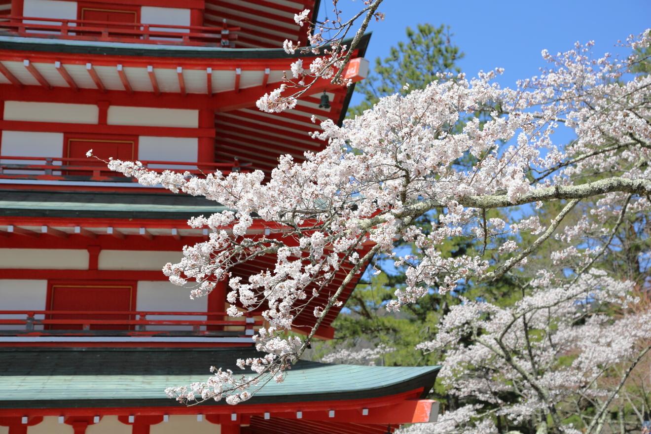 忠霊塔周辺の桜