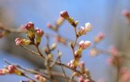 2019年桜開花情報