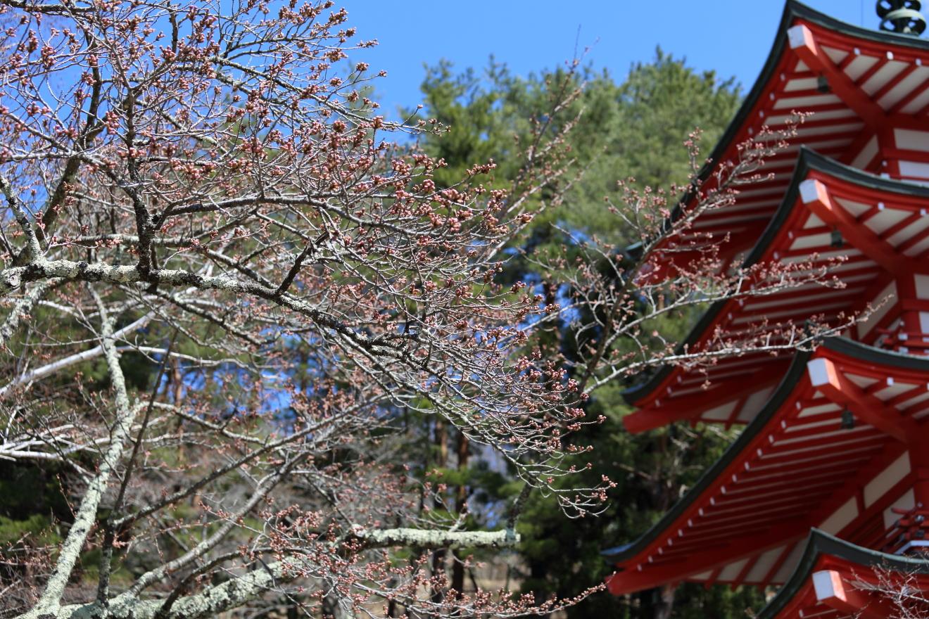 忠霊塔の桜の様子