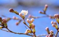 忠霊塔の桜開花状況