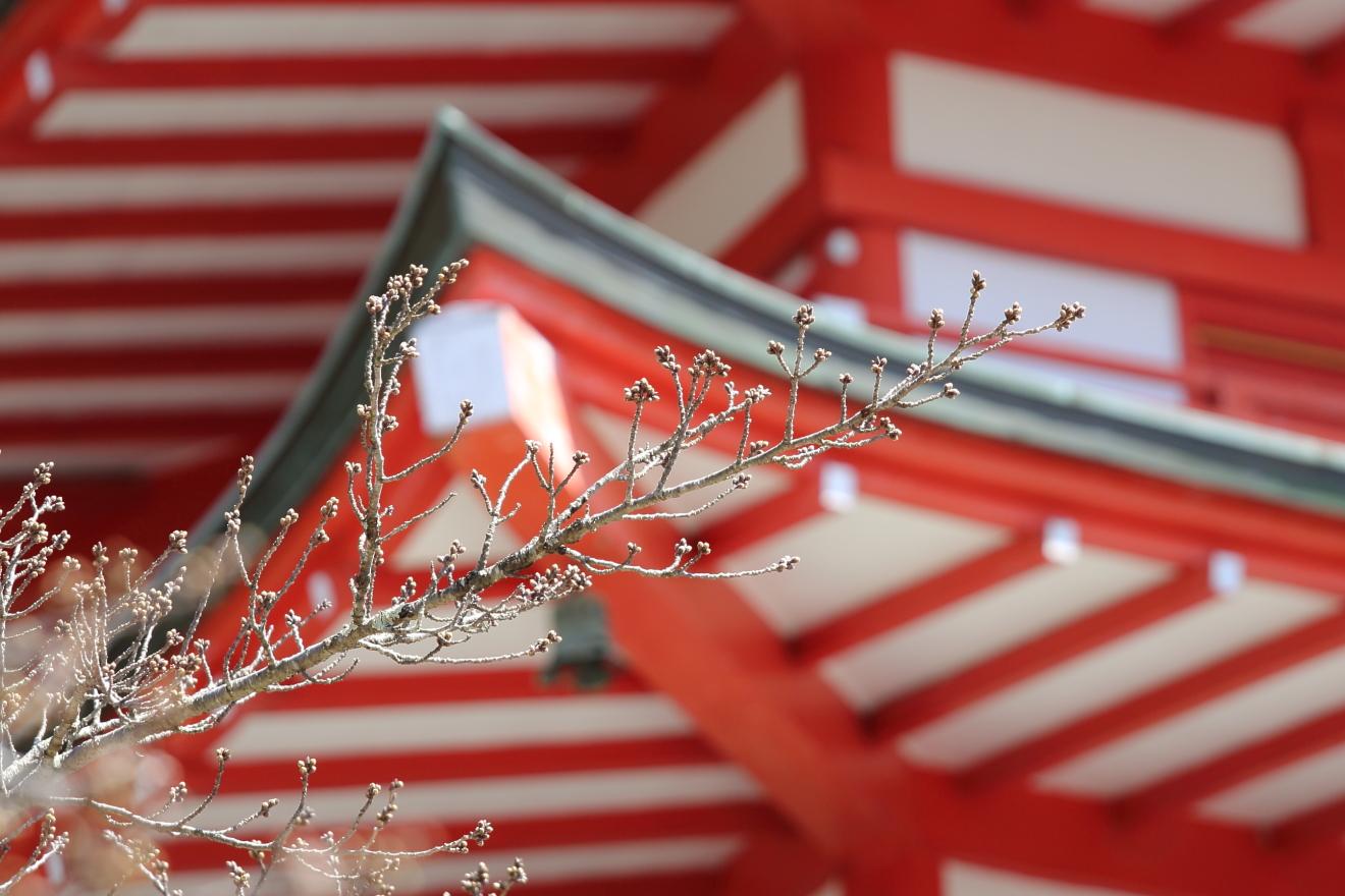 つぼみが膨らんだ新倉山浅間公園の桜