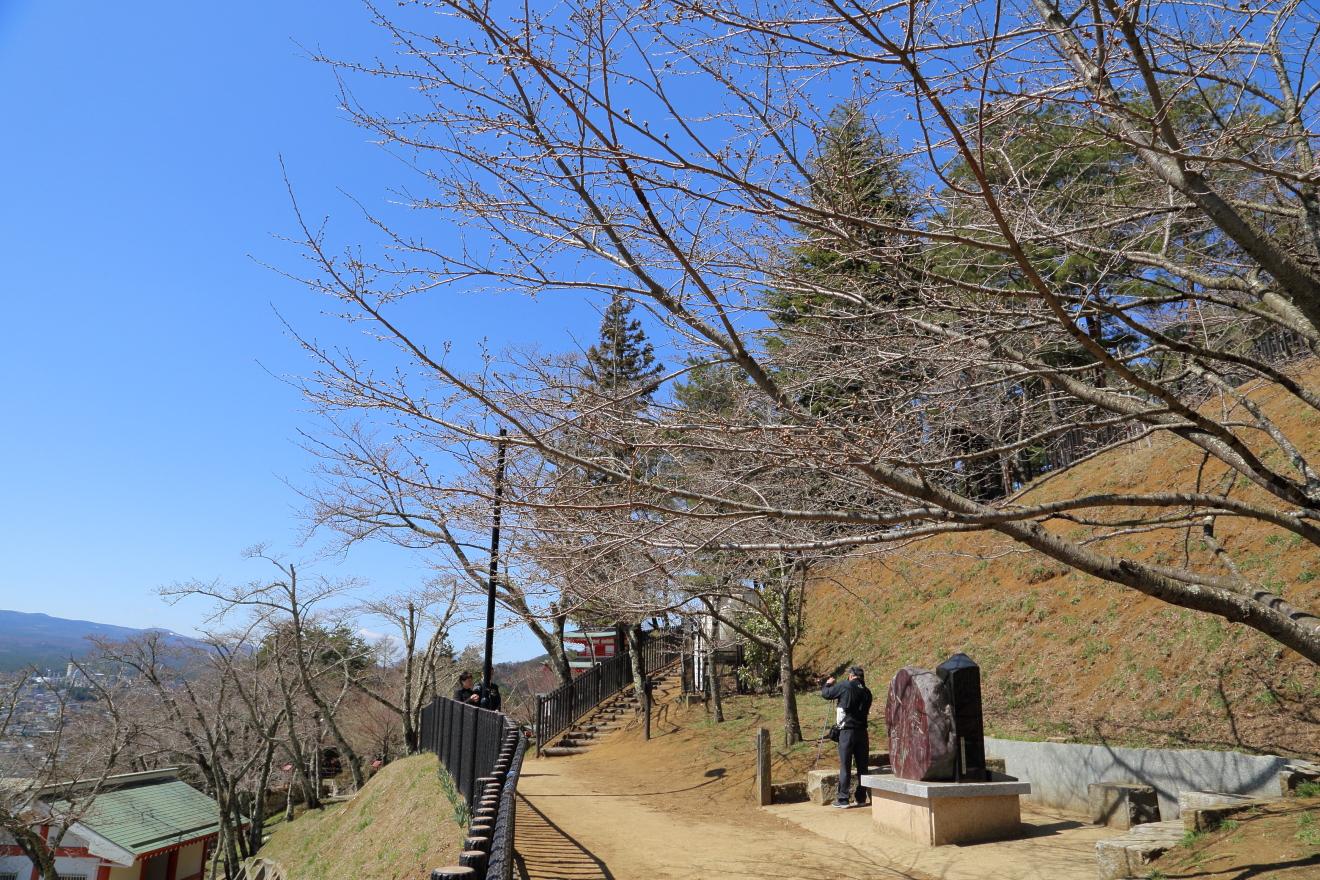 東屋周辺の桜