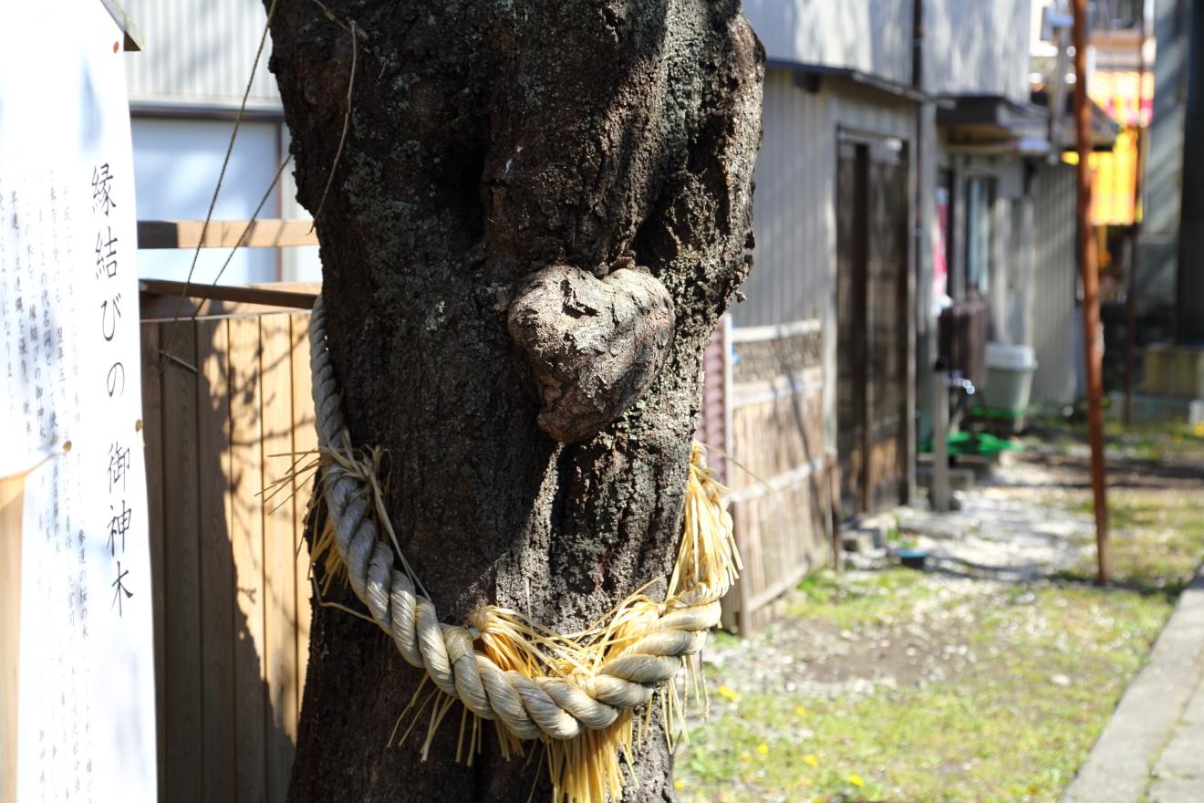 小室浅間神社のハート桜