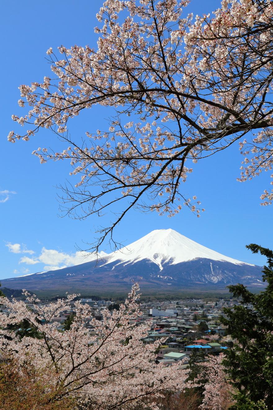 新倉富士浅間神社からの桜と富士山