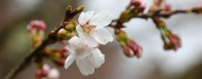 新倉山浅間公園開花状況