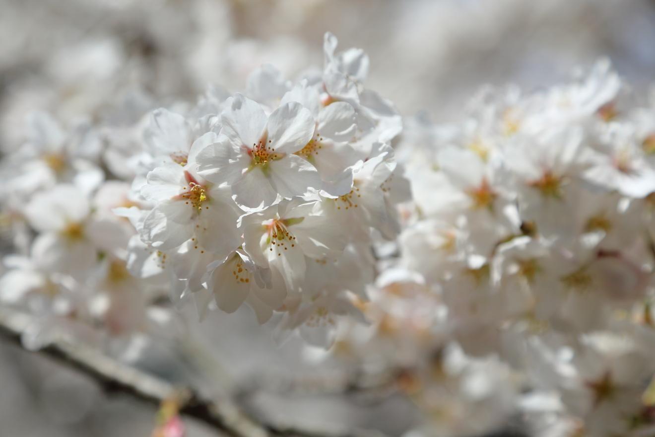 新倉富士浅間神社の桜