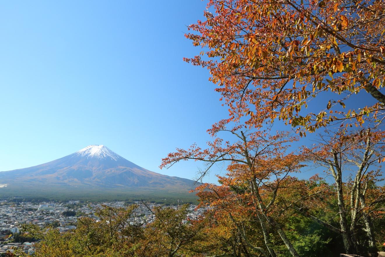 色付いた桜と富士山