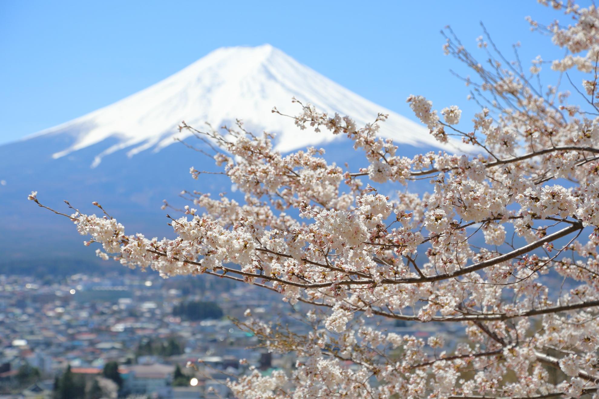 桜:富士山