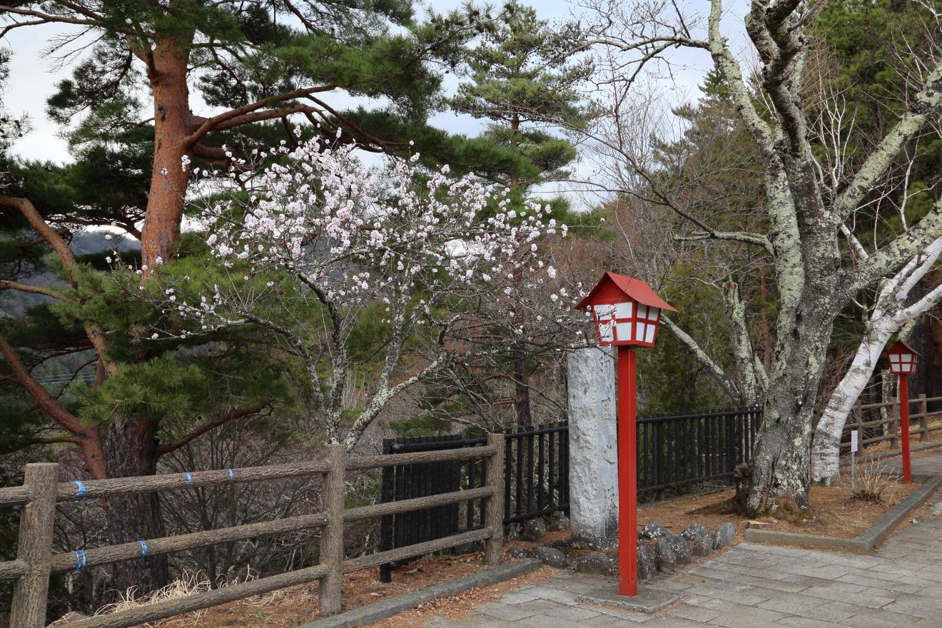 新倉山浅間公園の梅