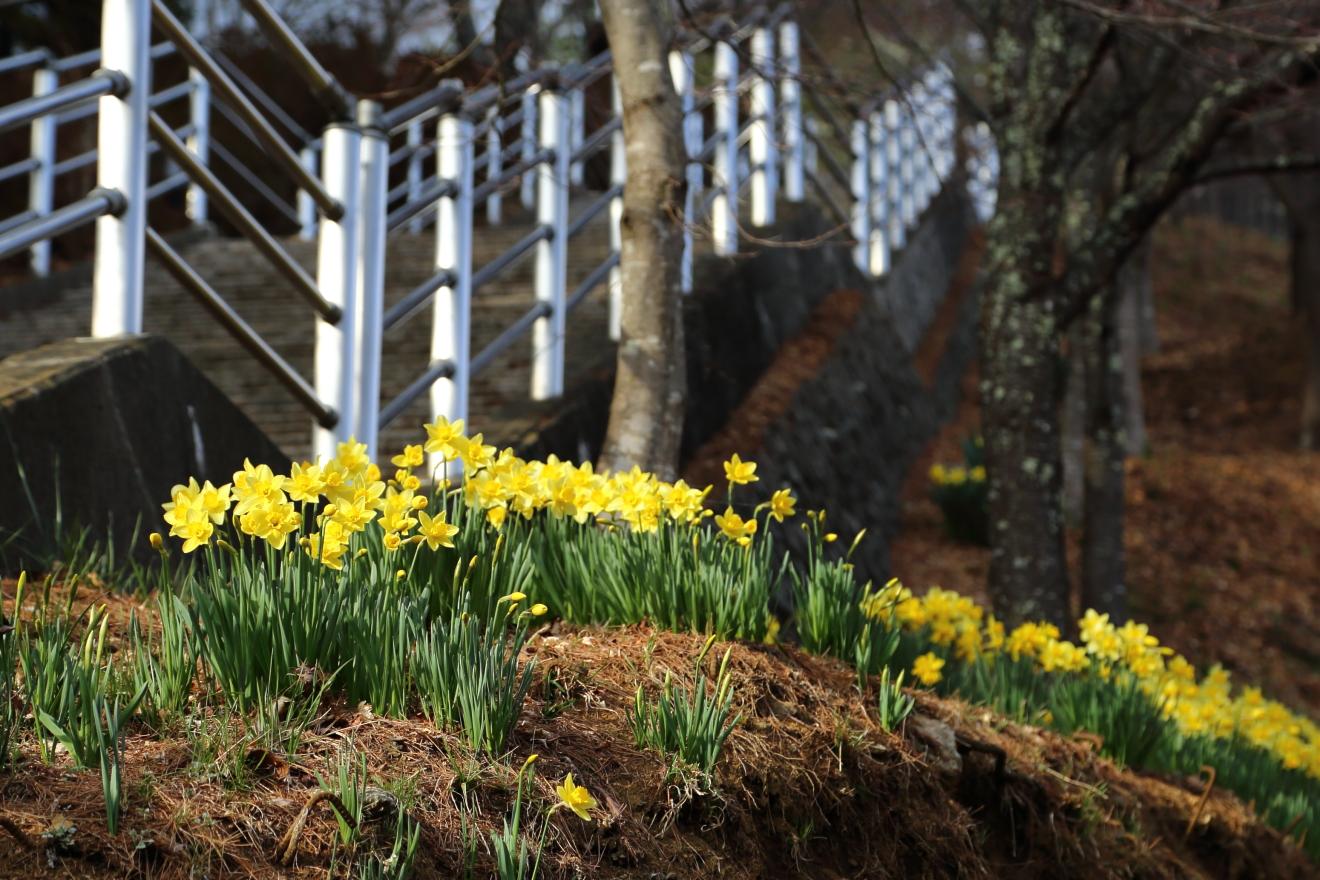 咲くや姫階段と水仙