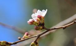 新倉山浅間公園の桜が開花