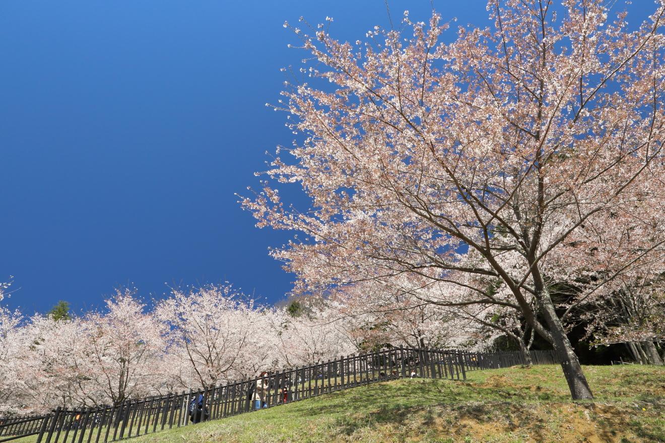 新倉山浅間公園:桜
