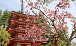 新倉山浅間公園:八重桜
