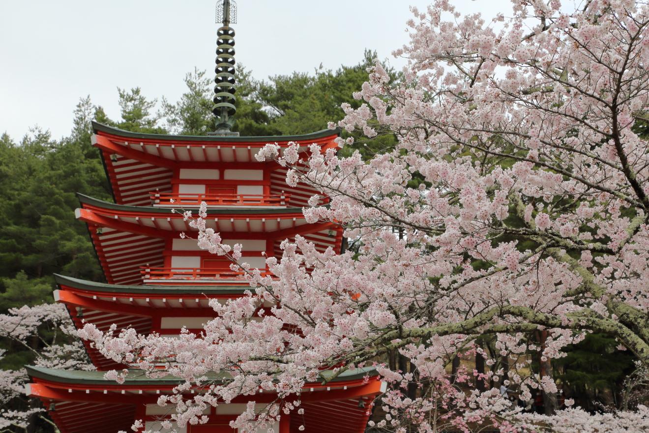 新倉山浅間公園:満開:桜